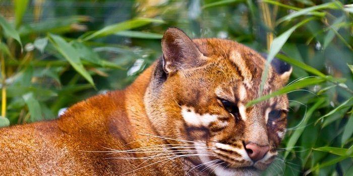 Kucing Merah Kalimantan, Salah Satu Kucing Paling Langka