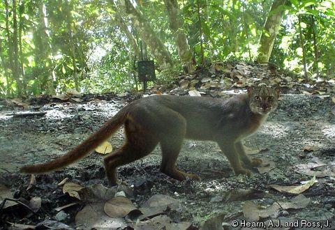 Gambar Kucing Merah Kalimantan atau Catopuma badia
