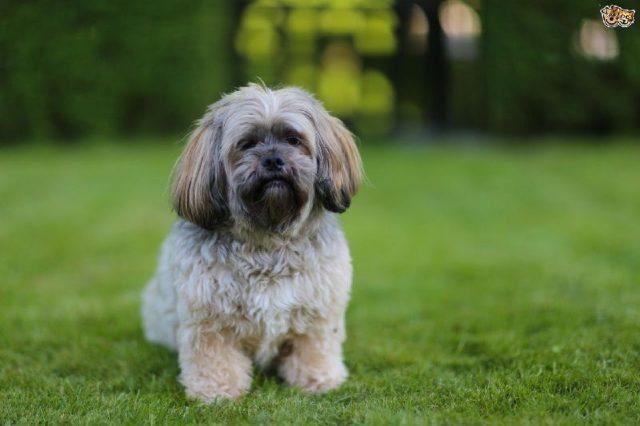 Gambar Jenis Anjing Kecil-Lhasa Apso