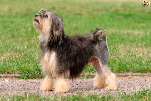 Gambar Jenis Anjing Kecil-Lowchen