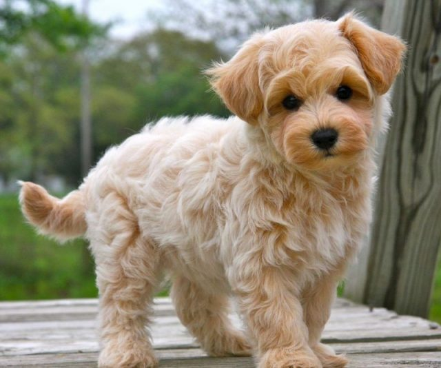 Gambar Jenis Anjing Kecil-Maltipoo