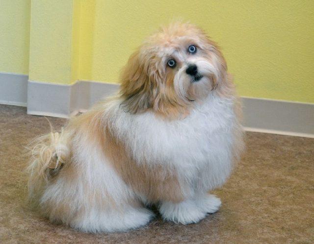 Gambar Jenis Anjing Kecil-Peekapoo