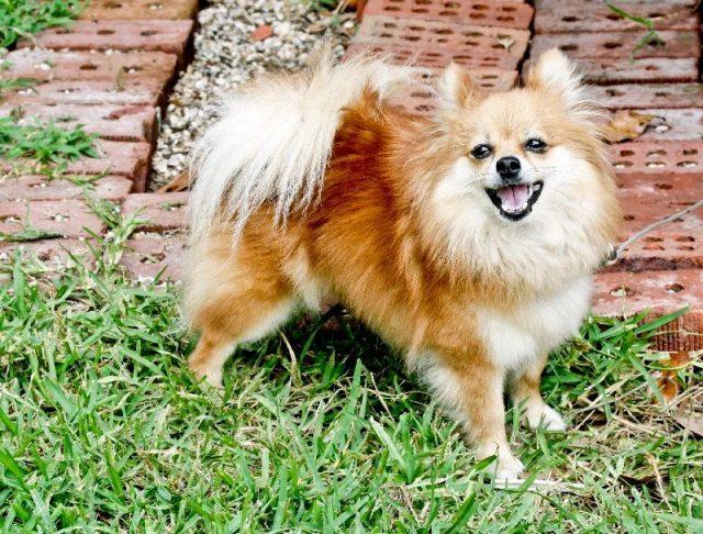 Gambar Jenis Anjing Kecil-Pomeranian