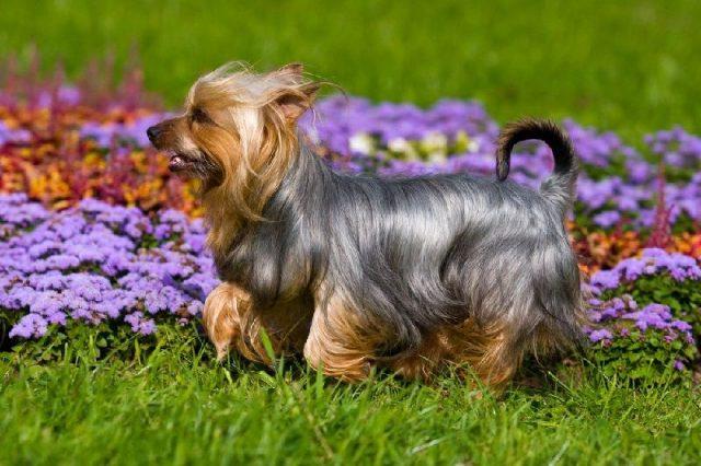 Gambar Jenis Anjing Kecil-Silky Terrier
