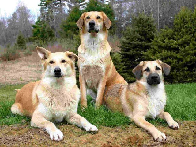 Gambar Nama Hewan Dari Huruf C - chinook dog