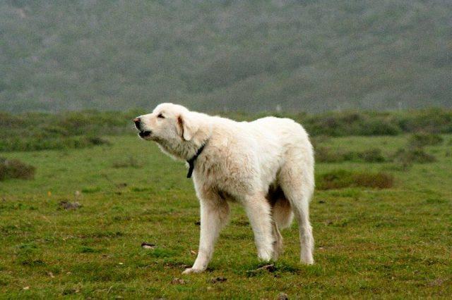 Gambar Jenis Anjing Besar Akbash