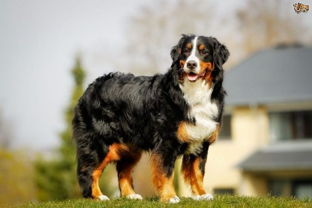 Gambar Jenis Anjing Besar Bernese mountain dog