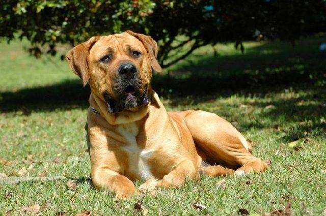 Gambar Jenis Anjing Besar Boerboel