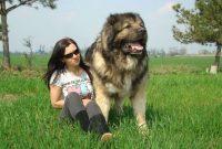 Gambar Jenis Anjing Besar Caucasian shepherd dog