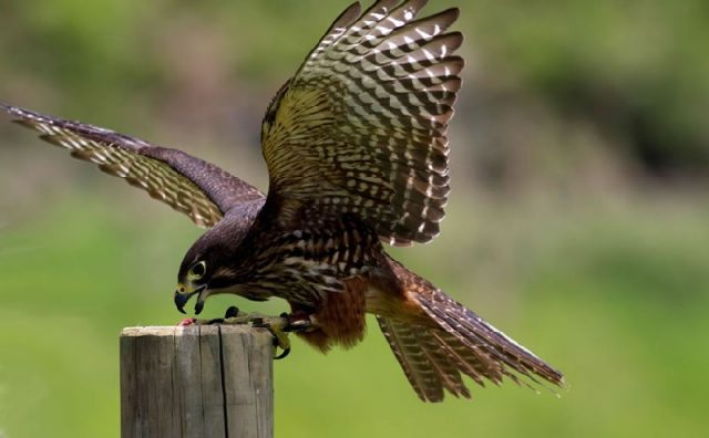 Gambar Falcon - Nama Hewan Dari Huruf F