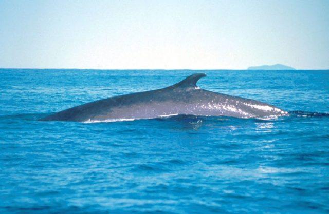 Gambar Fin Whale - Nama Hewan Dari Huruf F