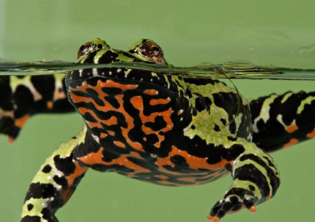 Gambar Fire-Bellied Toad - Nama Hewan Dari Huruf F