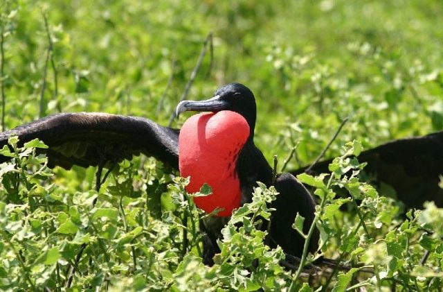 Gambar Frigatebird - Nama Hewan Dari Huruf F