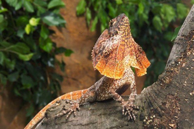 Gambar Frilled Lizard - Nama Hewan Dari Huruf F