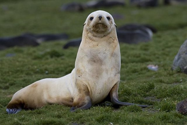 Gambar Fur Seal - Nama Hewan Dari Huruf F