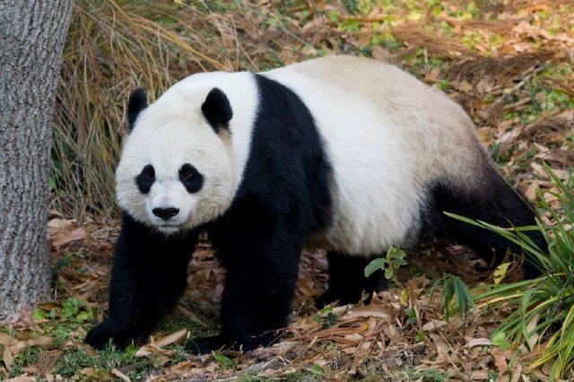 Gambar Giant Panda Bear - Nama Hewan Dari Huruf G