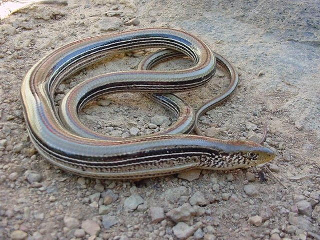 Gambar Glass Lizard - Nama Hewan Dari Huruf G