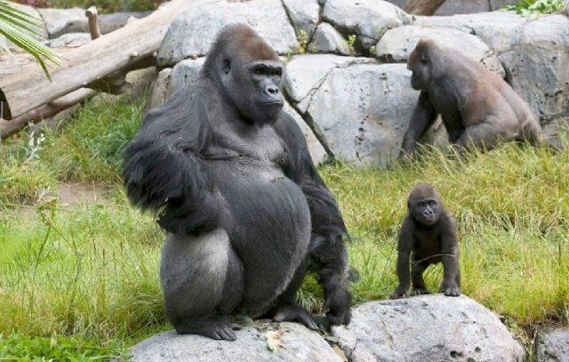Gambar Gorilla - Nama Hewan Dari Huruf G