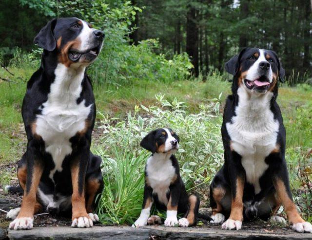 Gambar Jenis Anjing Besar Greater Swiss mountain