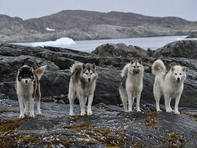 Gambar Greenland Dog - Nama Hewan Dari Huruf G