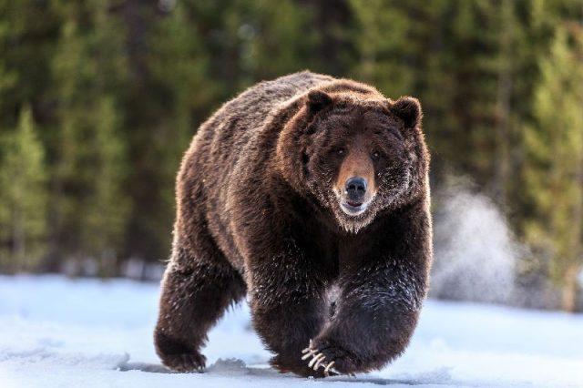 Gambar Grizzly Bear - Nama Hewan Dari Huruf G