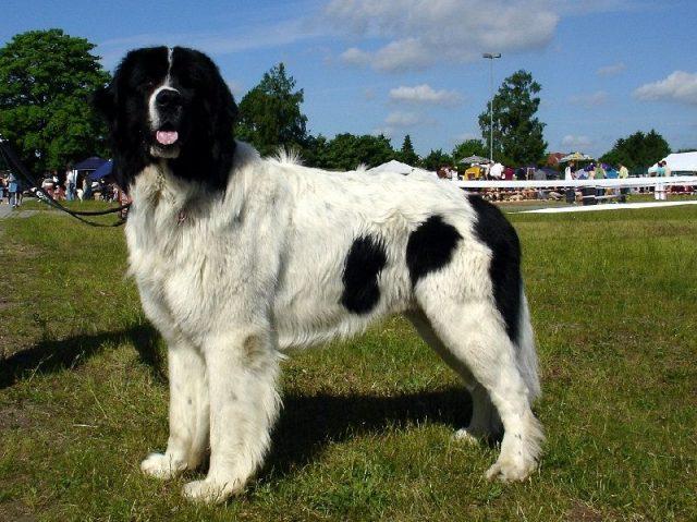 Gambar Jenis Anjing Besar Landseer