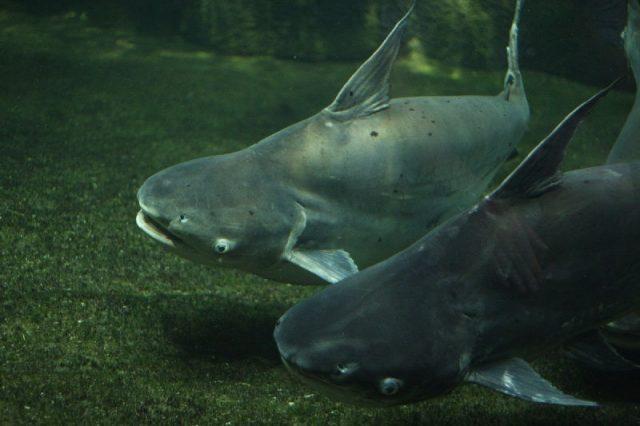 Gambar Mekong giant catfish - Jenis Ikan Catfish