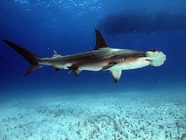 Gambar Nama Hewan Dari Huruf H - Hammerhead Shark