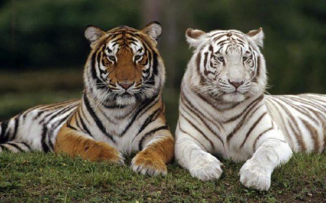 Gambar Nama Hewan Dari Huruf H - Harimau