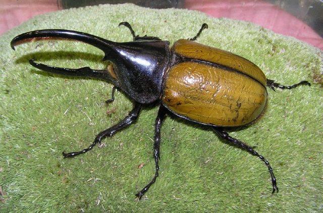 Gambar Nama Hewan Dari Huruf H - Hercules Beetle