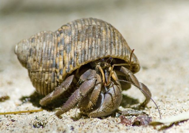 Gambar Nama Hewan Dari Huruf H - Hermit Crab