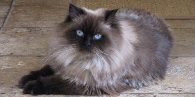 Gambar Nama Hewan Dari Huruf H - Himalayan Cat