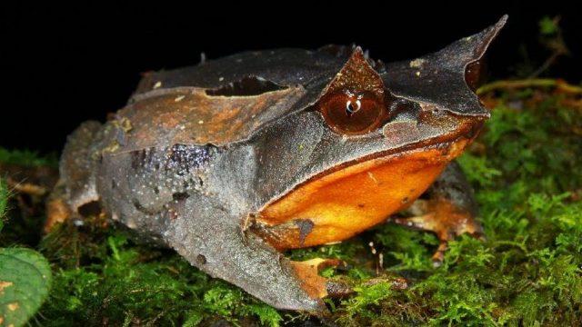 Gambar Nama Hewan Dari Huruf H - Horned Frog