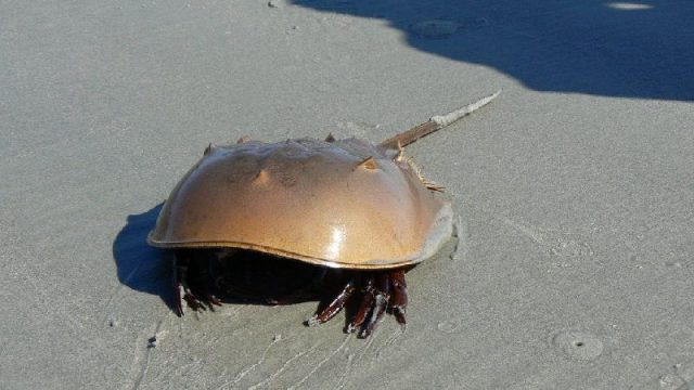 Gambar Nama Hewan Dari Huruf H - Horseshoe Crab