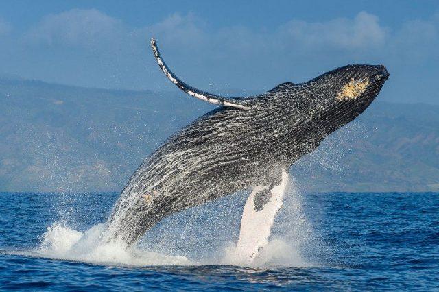 Gambar Nama Hewan Dari Huruf H - Humpback Whale