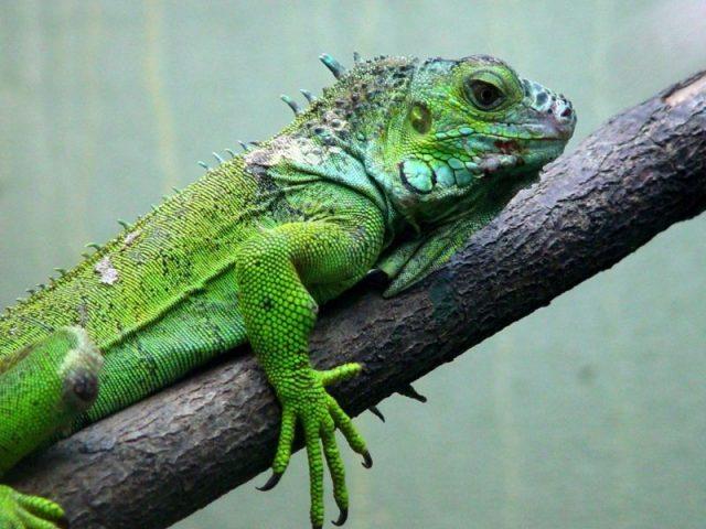 Gambar Nama Hewan Yang Dimulai Dari Huruf I-Iguana