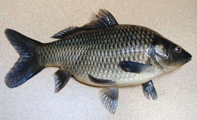 Gambar Nama Hewan Yang Dimulai Dari Huruf I-Ikan