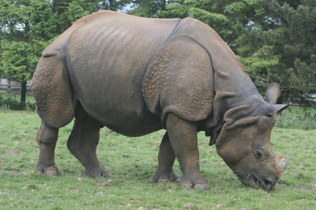 Gambar Nama Hewan Yang Dimulai Dari Huruf I-Indian Rhinoceros