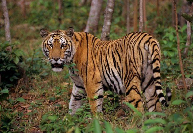 Gambar Nama Hewan Yang Dimulai Dari Huruf I-Indochinese Tiger