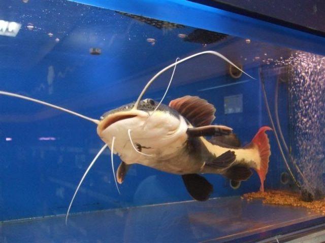 Gambar Red Tail Catfish - jenis ikan catfish