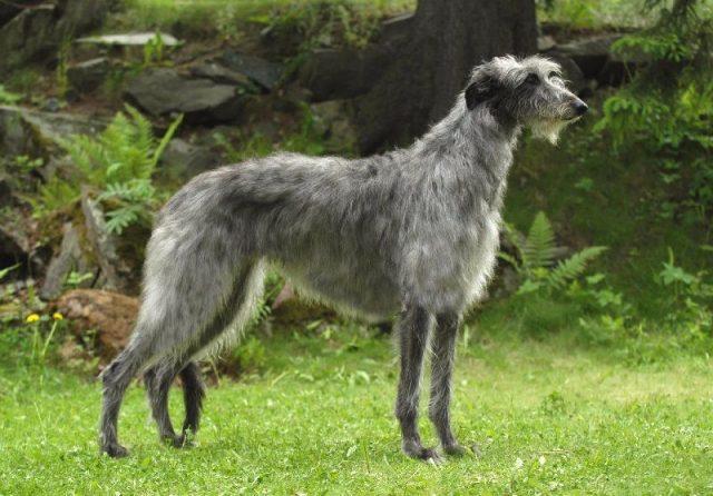 Gambar Jenis Anjing Besar Scottish deerhound