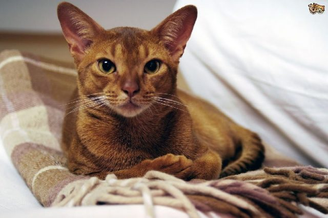 Gambar Jenis Jenis Kucing Dan Harganya Abyssinian