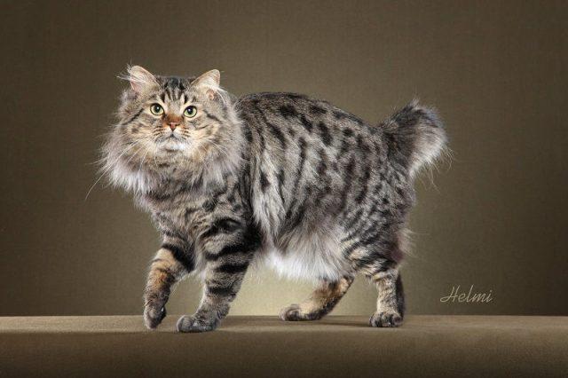Gambar Jenis Jenis Kucing Dan Harganya American Bobtail