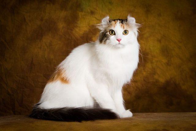 Gambar Jenis Jenis Kucing Dan Harganya American Curl