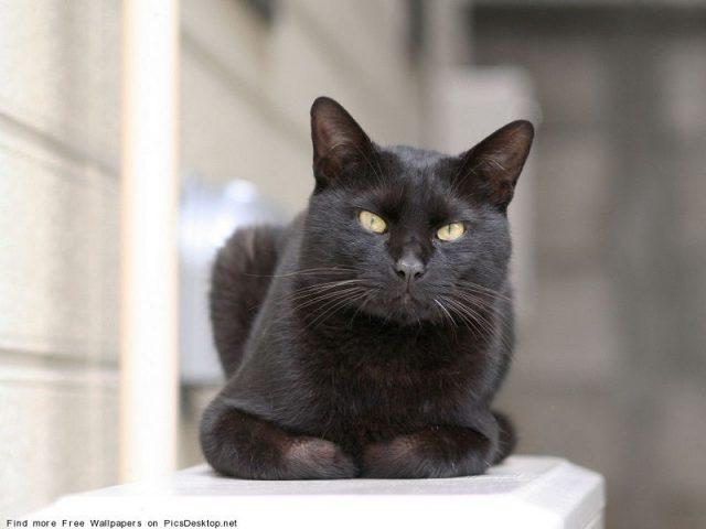 Gambar Jenis Jenis Kucing Dan Harganya American Keuda