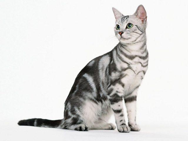 Gambar Jenis Jenis Kucing Dan Harganya American Shorthair