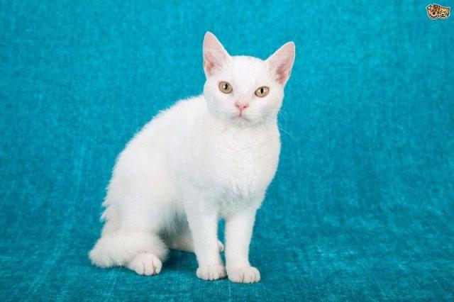 Gambar Jenis Jenis Kucing Dan Harganya American Wirehair