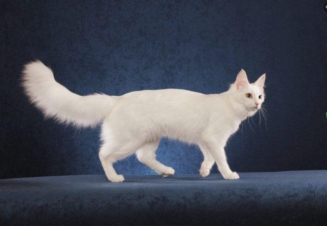 Gambar Jenis Jenis Kucing Dan Harganya Anggora Turki