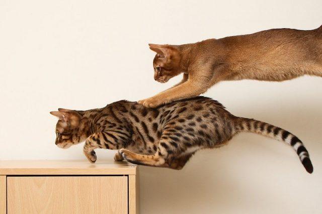 Gambar Sifat Kucing Abyssinian Yang Suka Melompat