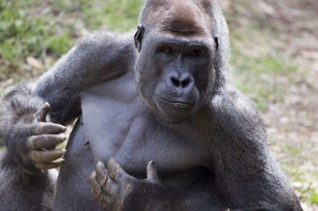 Gambar Nama Nama Hewan Dalam Bahasa Inggris Dan Gambarnya Ape